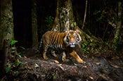 Tiger_175x115.jpg